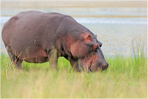 Hippo Eating Grass Stock Images - Download 354 Royalty ... |Hippo Eating Grass